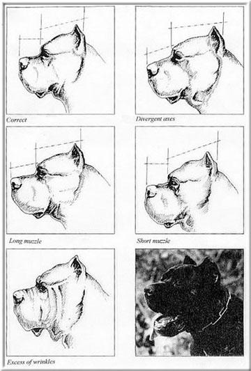 Cane CorsoS tandard Head