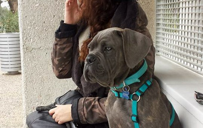 Cane Corso - Guard of Olympus - Ades