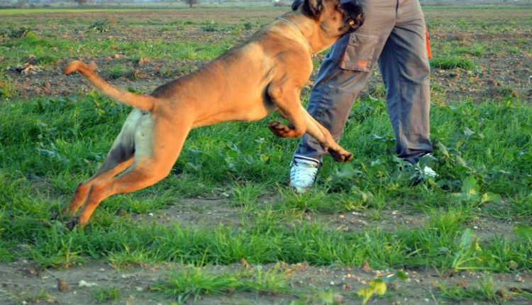 Cane Corso - Guard of Olympus - Ares