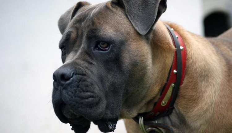 Cane Corso - Guard of Olympus - Artemis