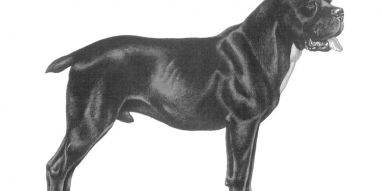 cane-corso-standard