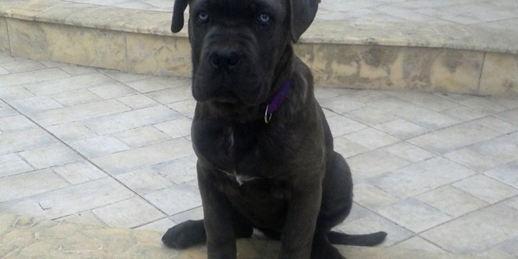 Cane Corso - Guard of Olympus