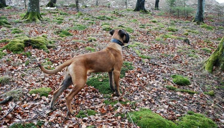 Bruno - Guard of Olympus Puppy