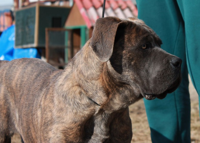Cane Corso Vito | Guard Of Olympus